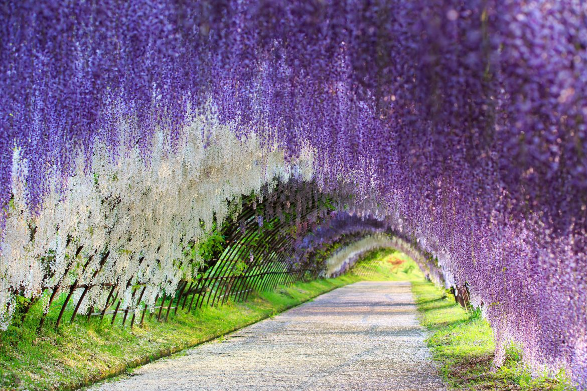 Kitakyushu-wisteria-tunnel--my-design-week-top-10-things-to-do-in-japan-2